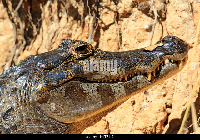 Close-up of a Spectacled Caiman (aka Common Caiman, White Caiman) in the Water. Rio Claro, Pantanal, Brazil - Stock Image
