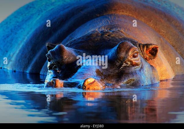 Hippopotamus (Hippopotamus amphibius) at sunset and low angle - Kruger National Park (South Africa) - Stock Image