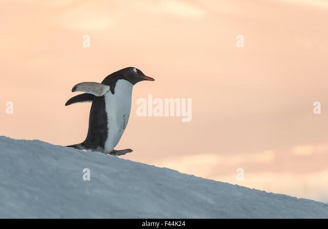 Gentoo Penguin (Pygoscelis papua) Wiencke Island, Antarctic Peninsula, Antarctica - Stock Image