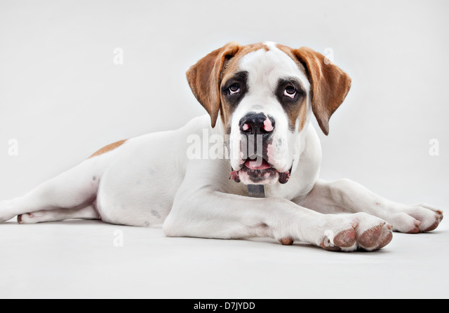 Portrait of St Bernard puppy in studio - Stock Image
