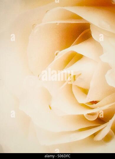 White rose - Stock Image