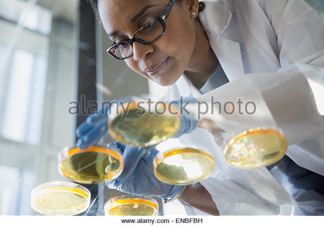 Focused scientist examining petri dishes - Stock Image