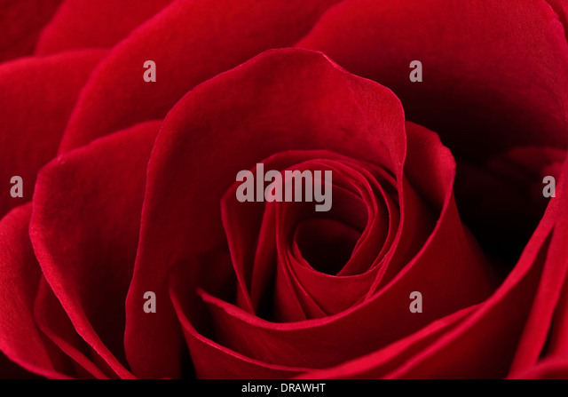 Dark Red Rose - Stock Image