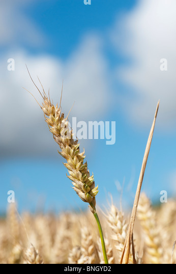 Triticum aestivum. Wheat in a field in the English countryside - Stock Image