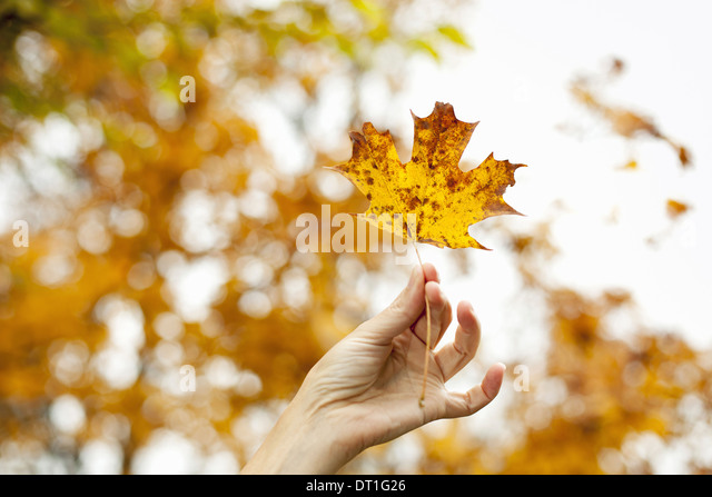A person's hand holding an autumn coloured maple leaf - Stock Image