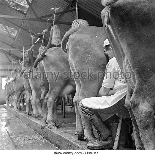 Parsonage Farm- Dairy Farming in Devon, England, 1942 D10227 - Stock Image