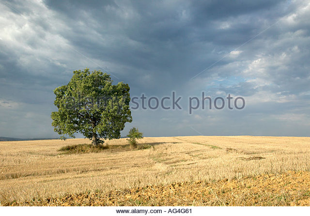 Single tree in a field in France with a dark grey sky - Stock Image