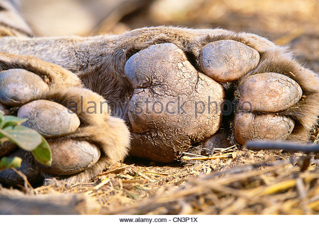 Paw pads of a tiger, Ranthambhore National Park, India - Stock-Bilder