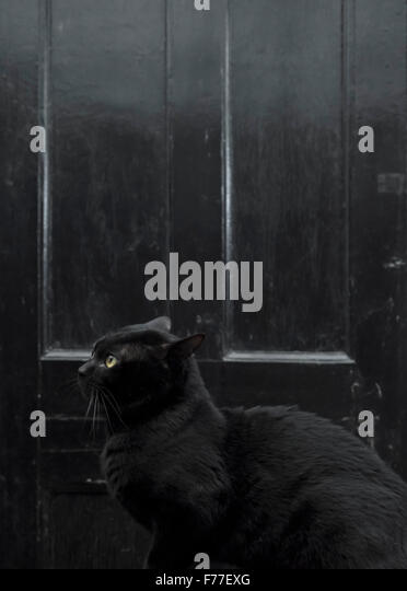 Male Bombay cat in a moody setting against a black door - Stock Image