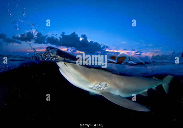 Split level image of Caribbean reef shark (Carcharhinus perezi) breaking surface at dusk. Grand Bahama, Bahamas. - Stock-Bilder