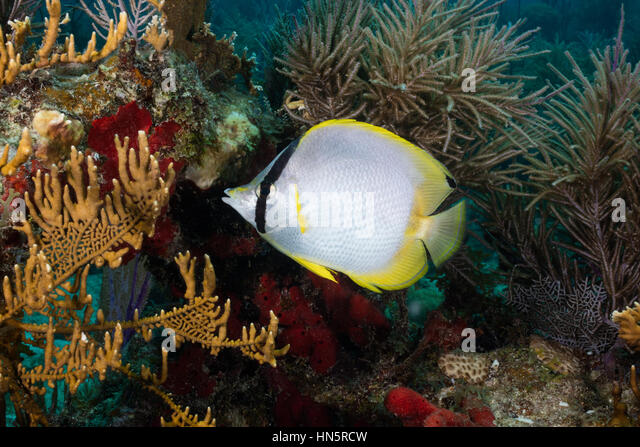 Spotfin butterflyfish framed by soft corals, sponges, and fire coral. - Stock-Bilder