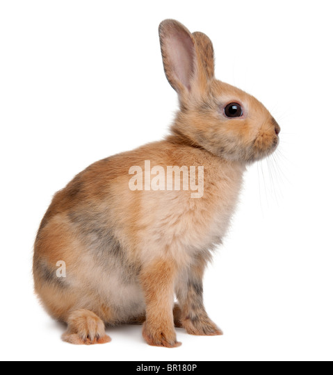 Portrait of a European Rabbit, Oryctolagus cuniculus, sitting in front of white background - Stock Image