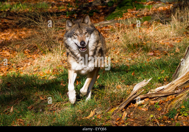 European gray wolf (Canis lupus lupus), running in a meadow at the forest edge, Germany, Bavaria, Bavarian Forest - Stock-Bilder