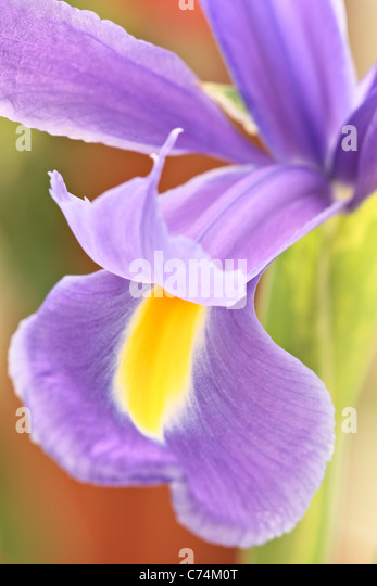 Close up of a purple and yellow Iris in spring - Stock Image