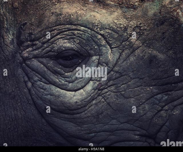 The eye of a Rhinoceros - Stock Image