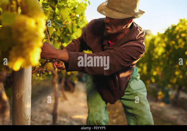 Farmer picking up the grapes during harvesting time. Young man harvesting grapes in vineyard. Worker cutting grapes - Stock Image