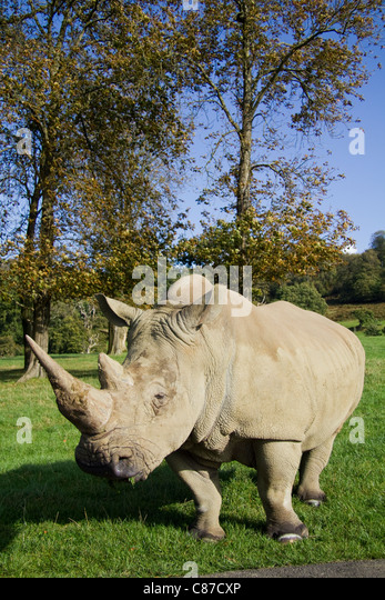 White rhinoceros at Longleat Safari Park Wiltshire UK - Stock Image