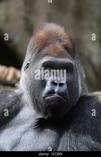Lowland gorilla face closeup silverback male Cincinnati Zoo, Ohio - Stock Image