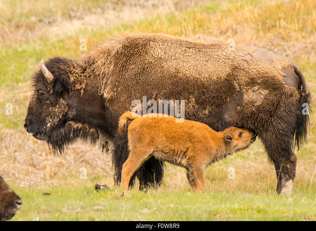 Bison yearling nursing from his Mother. Lamar Valley, Yellowstone National Park, Wyoming - Stock Image