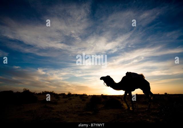 Camel, Sahara desert, Douz, Tunisia - Stock Image