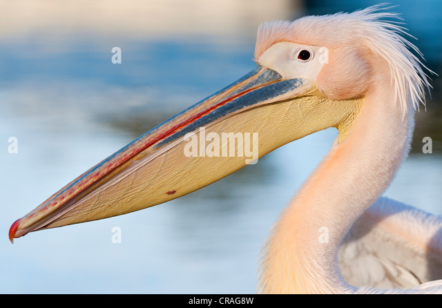 White Pelican (Pelecanus onocrotalus), Stuttgart, Baden-Wuerttemberg, Germany, Europe - Stock Image