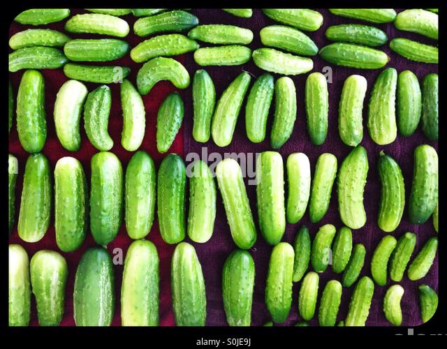 Rows of cucumbers. - Stock Image