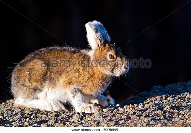 Rabbit in alert position, ready to pounce away to the woods - Stock Image