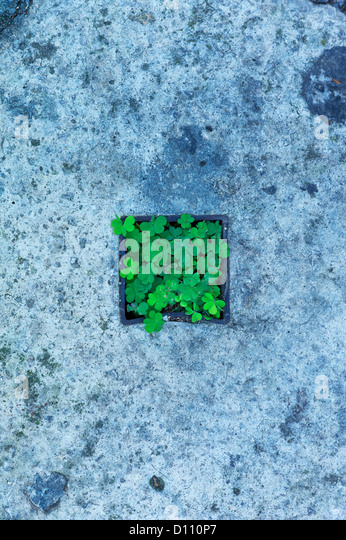 Overhead view of shamrocks - Stock Image
