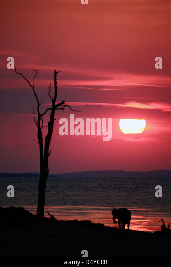 Zimbabwe, Bumi Hills. The sun sets as a lone elephant watches from the shore of Lake Kariba. - Stock Image
