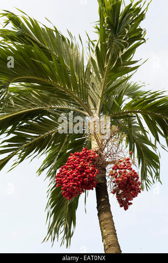 Fruits of Palm Tree Panama - Stock Image