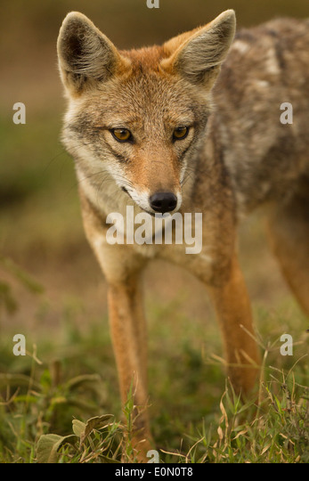 Golden Jackal, Ndutu area of Ngorongoro Conservation Area, nr Serengeti National Park, Tanzania, Africa (Canis aureus) - Stock-Bilder