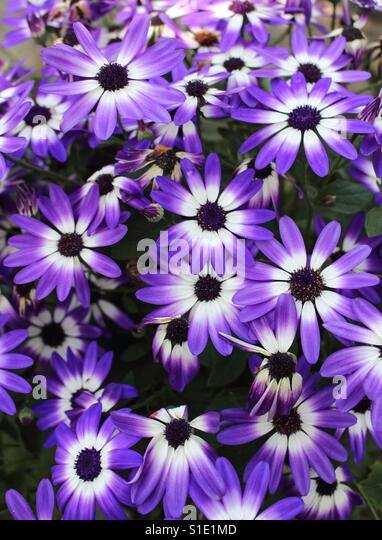 Purple Explosion - Stock-Bilder