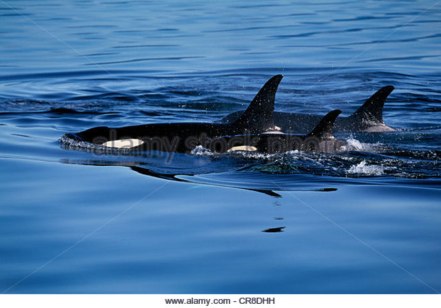 Orca cow & calf (Orcinus orca) - Stock Image