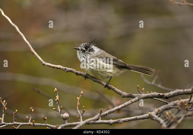 A Tufted Tit-Tyrant (Anairetes parulus) from southern Chile - Stock Image