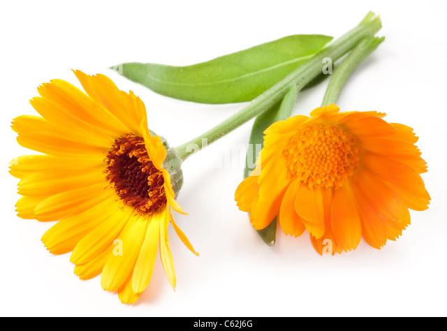 Calendula flower isolated on a white background. - Stock Image
