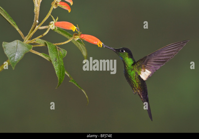 Buff-winged Starfrontlet (Coeligena lutetiae) flying and feeding at a flower at the Yanacocha reserve near Quito, - Stock Image