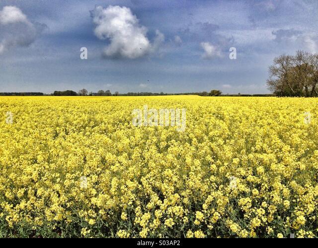 Yellow Field - Stock Image