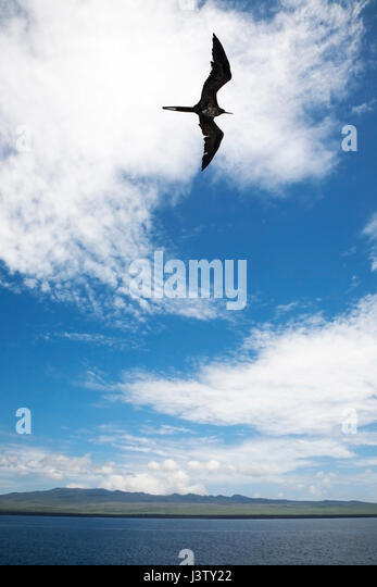 Frigate bird soaring over Santiago Island in the Pacific ocean - Stock Image