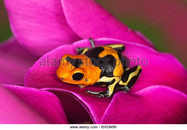'Intermedius' Ranitomeya imitator frog - native to Peru - Stock Image