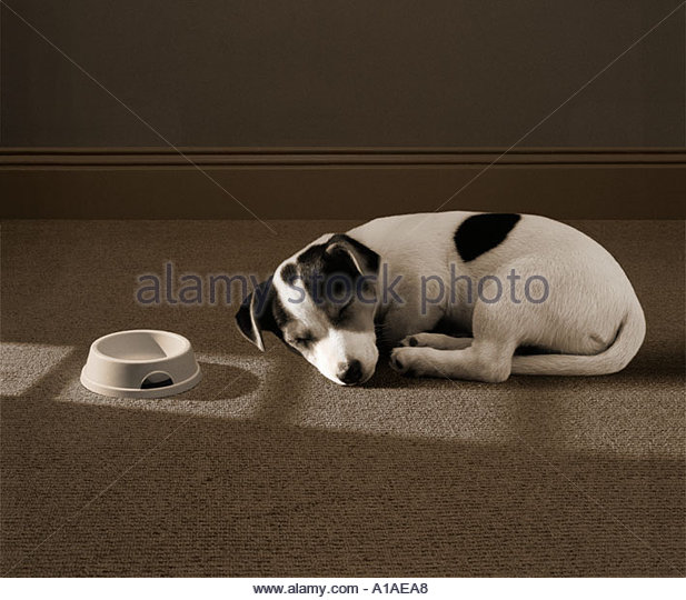 Jack Russell puppy asleep - Stock Image