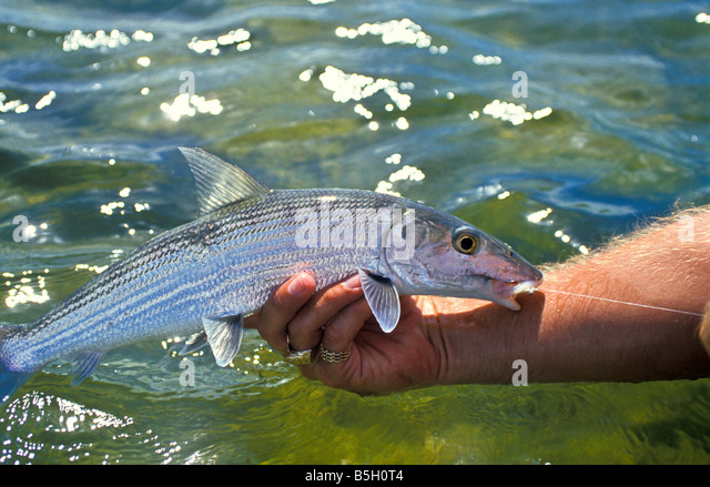bonefish cradled in angler's hand gamefish closeup profile catch and release proper fish handling techniques - Stock Image