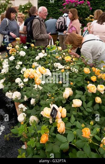 David austin rose stock photos david austin rose stock Austin home amp garden show