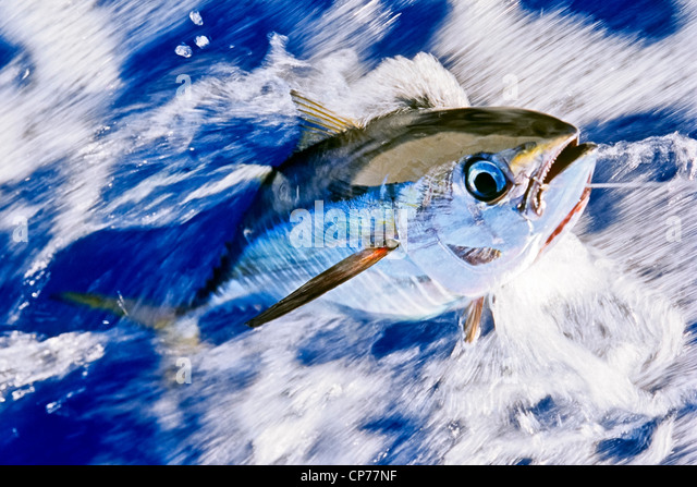 Juvenile Yellowfin tuna on line - Stock-Bilder