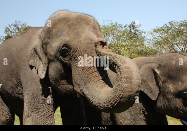 N F Elephant 2 Elephants Ears Stock P...