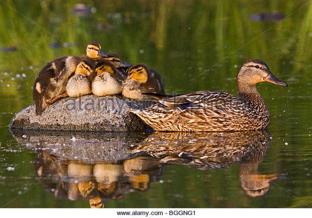 Alaska. Mallard hen (Anas platyrhynchos) and ducklings resting on a rock in Cheney lake, Anchorage. - Stock Image