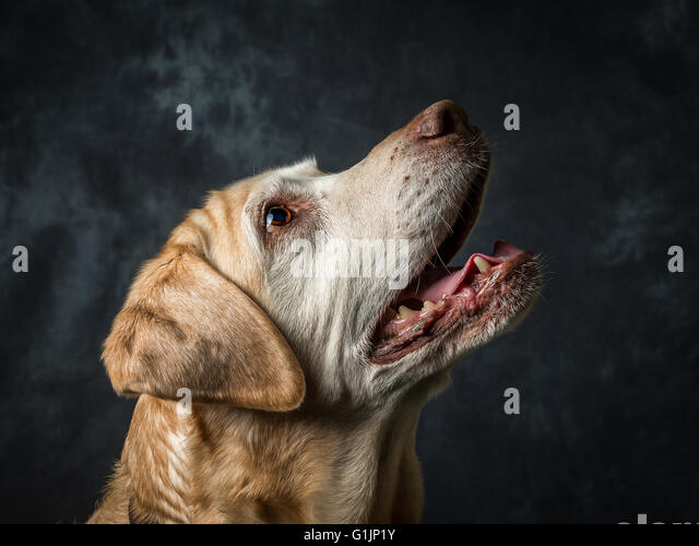 Yellow Labrador Retriever - Stock-Bilder