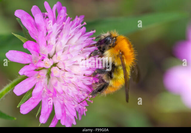 Brown-banded carder bee (Bombus humilis) adult worker feeding on a Wood Scabious (Knautia dipsacifolia) flower. - Stock Image