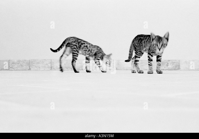Hunting cats - Stock Image