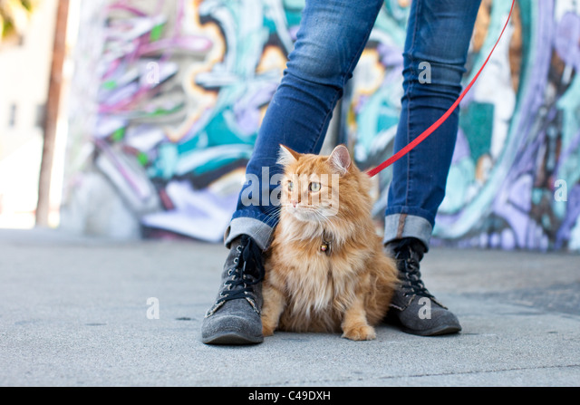 A small longhaired orange cat on a harness and leash sitting between his owner's feet in an urban neighborhood - Stock-Bilder
