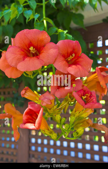 campsis radicans stock photos campsis radicans stock images alamy. Black Bedroom Furniture Sets. Home Design Ideas